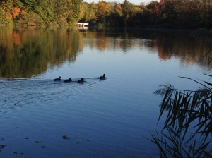 Mallard ducks swim on Van Cortlandt Lake in the Bronx.